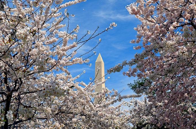 Vašingtona ķiršu ziedēš...